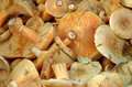 Delicious milk cap is one of the best known members of the large genus lactarius in the order russulales Stock Photos