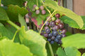 Delicious purple grapes, nearly ripe and ready to get eaten. Royalty Free Stock Photo
