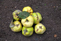 Delicious ripe quince lying on the ground
