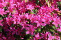 Delightful blooming of rhododendrons , azalea Stock Photo