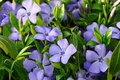 Delightful periwinkle in the garden close-up Royalty Free Stock Photo