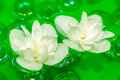 Delightful White Jasmine Flowers Floating on Water Stock Images