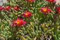 Delosperma cactus bloom beautiful plant of the genus in defying the scorching summer sun Royalty Free Stock Photo