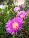 Delosperma pink flowering ice plant closeup in the garden Stock Photos