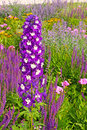 Delphinium Royalty Free Stock Photos