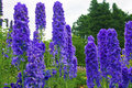 Delphinium flowers in a garden tall delphiniums herbacious border of an english Royalty Free Stock Photos
