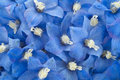 Delphinium studio shot of aqua and blue colored flowers background macro Royalty Free Stock Photos