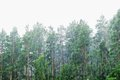 Deluges of rain in forest trees under a pouring Royalty Free Stock Images