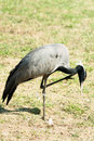 Demoiselle Crane bird Royalty Free Stock Photo