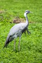 Demoiselle crane bird anthropoides virgo Royalty Free Stock Image