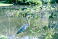 Demoiselle Crane Bird on the lake Royalty Free Stock Photo