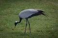 Demoiselle crane Royalty Free Stock Photo