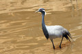 Demoiselle crane a in lake scientific name anthropoides virgo Stock Photography