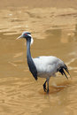 Demoiselle crane a in lake scientific name anthropoides virgo Royalty Free Stock Photography