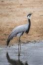 Demoiselle crane (Anthropoides virgo).