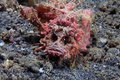 Demon stinger inimicus didactylus on the sea floor Stock Images