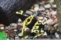 Dendrobates frog beautiful macro photo of poison dart Royalty Free Stock Photography