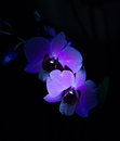 Dendrobium orchid dark flowers on black background Royalty Free Stock Images