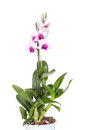 Dendrobium phalaenopsis hybrid orchid Royalty Free Stock Photo