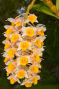 Dendrobium thyrsiflorum rchb f rainforest thailand Royalty Free Stock Photography