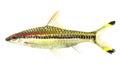 Denison s barb fish sahyadria denisonii isolated on white background Stock Photos