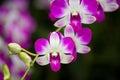Denrobium eastern vigour orchid hubrid flower Royalty Free Stock Image