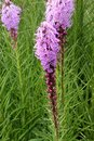 Dense blazing star, Prairie gay feather Liatris spicata Royalty Free Stock Photo