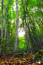 Dense deciduous trees in the forest Stock Photo