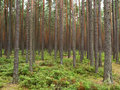 Dense forest Royalty Free Stock Images