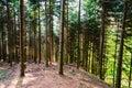 Dense forest on hillside fir tree in sunlight Royalty Free Stock Photo