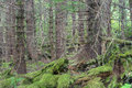 Dense forest pine forested woods barren branches and moss growing on fallen timber on baranof island in southeast alaska Stock Photos