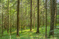 Dense forest summer landscape in the old spruce Stock Photography