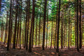 Dense forest trees lined in vertical lines pattern Stock Photography