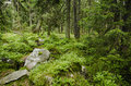 Dense green forest the with mossy stones natural background Royalty Free Stock Image