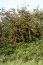 Dense Hedgerow Layers
