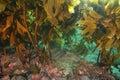 Dense kelp jungle of brown stalked ecklonia radiata with pink coralline algae on rocks under fronds canopy Royalty Free Stock Photos