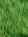 Dense, lush green grass Royalty Free Stock Images