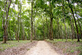 Dense rubber plantation road leading into a malawi africa Stock Images