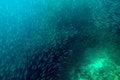 Dense shoal of Sardines Royalty Free Stock Photo