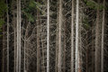 Dense spruce forest Royalty Free Stock Photo
