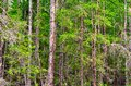 Dense trunks of trees of firs and pines of the Yakut Northern forest. Royalty Free Stock Photo