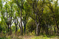 Dense woods Royalty Free Stock Photo