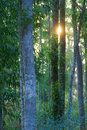Dense woods the sun through the forest Royalty Free Stock Photo