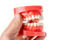 Dental jaw model in hand Royalty Free Stock Image