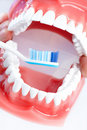 Dental teeth model Stock Image