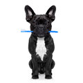 Dental toothbrush dog french bulldog holding with mouth at the dentist or veterinary isolated on white background Stock Photos