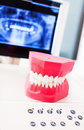 Dentists model of human teeth fake set at dentist office Royalty Free Stock Image