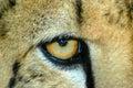 Depredador de la fauna Imagen de archivo libre de regalías