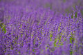 Depth of Lavender field