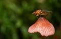 Der pilz ist sehr klein also ist keine riesefliegen hier die fliege im begriff weg sich zu entfernen und zu fliegen die fliege Stockbild